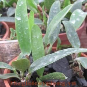 Cattleya-6-9-giong