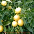 Kĩ thuật trồng chanh trái vụ